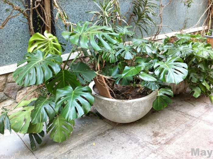 Plant ID By Me: Monstera deliciosa (split leaf philodendron)