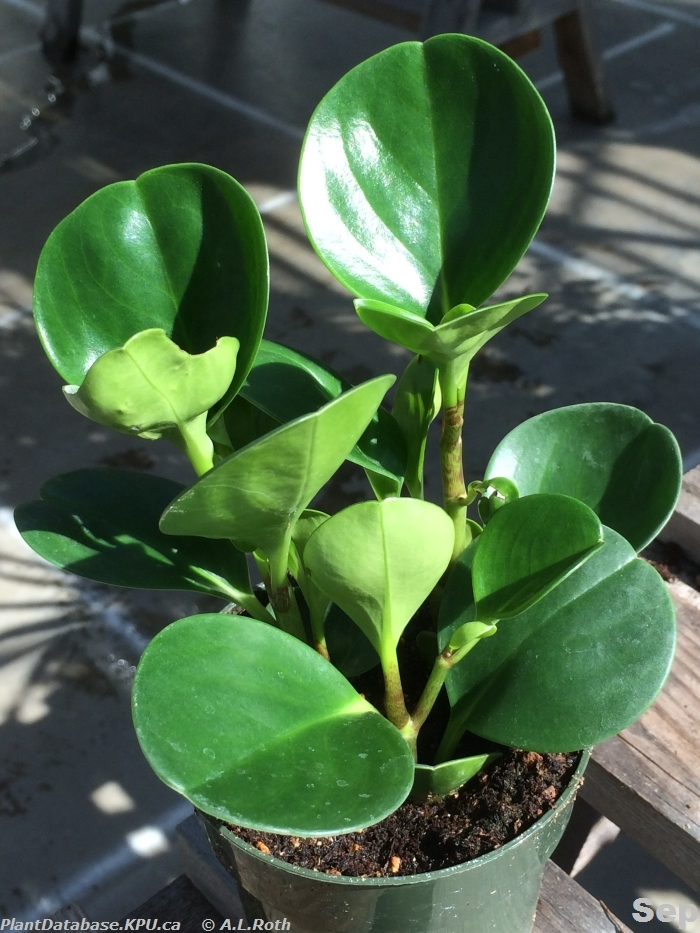 Plant ID By Me: Peperomia obtusifolia (Baby rubber plant)