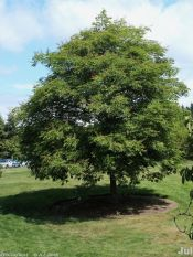 Chinese horse chestnut