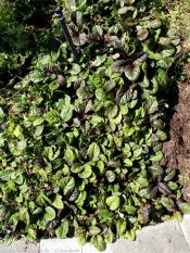 bugleweed, carpet bugleweed