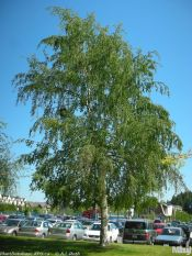 European white birch, silver birch