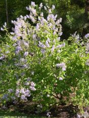 Glory of Versaille lilac