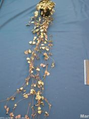 string of hearts, rosary vine