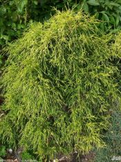 gold threadleaf false cypress