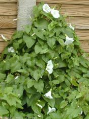 morning glory, hedge bindweed