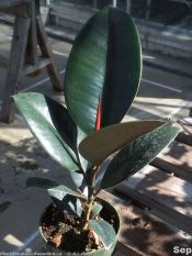 rubber plant, India rubber plant, rubber tree