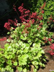 hybrid coral bells, fancy-leaved coral bells
