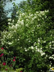 Lewis mock orange