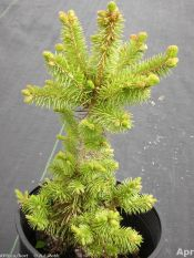 Meyer's spruce (seedling)