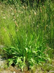 narrow-leaved plantain