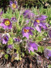 pilsatilla, pasque flower