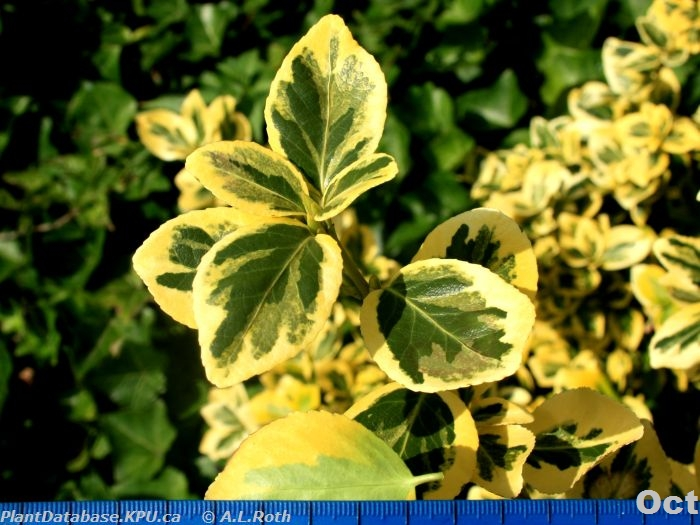 Plant ID By Me: Euonymus fortunei \'emerald n\' gold\' (winter creeper)